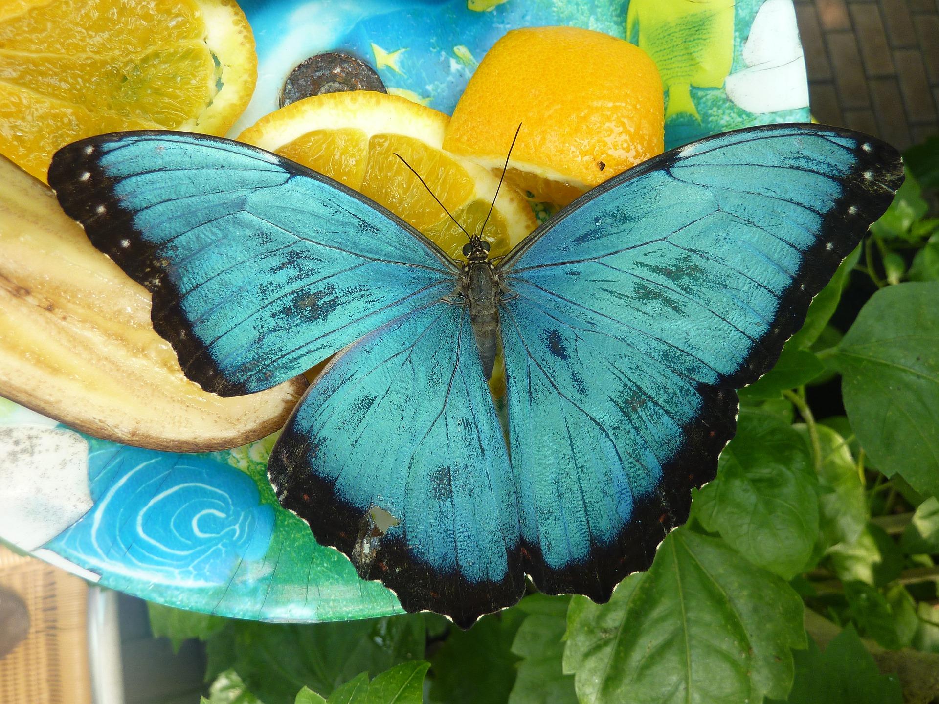 Mariposa azul nutriverssa comiendo naranja